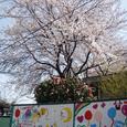 第二幼稚園 壁画と桜
