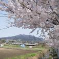 桜水路子持山