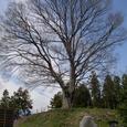 白井城址の鎮樹
