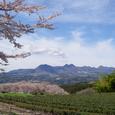 桜茶畑水沢山