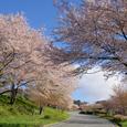 子持神社へと続く桜路