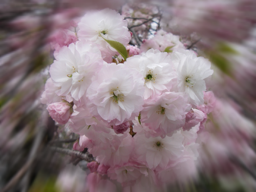 揺・八重桜
