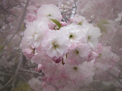 八重桜UP