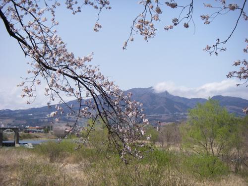 桜吾妻川子持山
